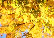 Hojas del amarillo del arce del otoño outdoor Fotos de archivo