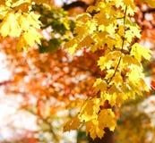 Hojas del amarillo del arce del otoño outdoor Foto de archivo libre de regalías