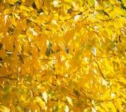 Hojas del amarillo del otoño Imagen de archivo