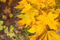 Hojas del amarillo del otoño en árbol Fotografía de archivo