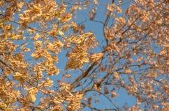 Hojas del amarillo en el abedul Foto de archivo libre de regalías
