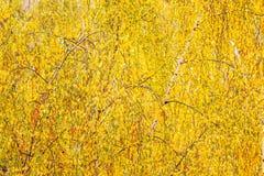 Hojas del amarillo en el abedul imagen de archivo