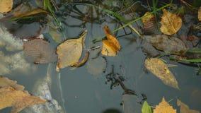 Hojas del amarillo en el agua