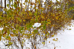 Hojas del amarillo en la nieve Fotografía de archivo
