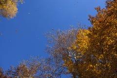 Hojas del amarillo en la temporada de otoño Foto de archivo libre de regalías