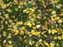 Hojas del amarillo en la tierra durante temporada de otoño Imagen de archivo