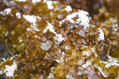 Hojas del amarillo en nieve Última caída e invierno temprano Fondo borroso de la naturaleza con el dof bajo Las primeras nevadas Foto de archivo libre de regalías