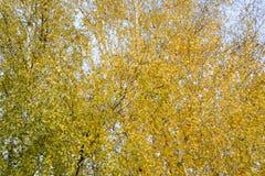Hojas del amarillo en ramas del abedul El otoño vino a la arboleda del abedul Foto de archivo libre de regalías