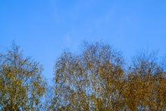 Hojas del amarillo en ramas del abedul El otoño vino a la arboleda del abedul Fotografía de archivo
