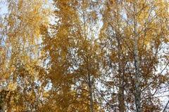 Hojas del amarillo en ramas de abedules Imagen de archivo
