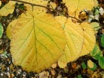 Hojas del amarillo en simetría del bosque foto de archivo libre de regalías