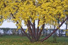 Hojas del amarillo en un árbol Imagen de archivo libre de regalías