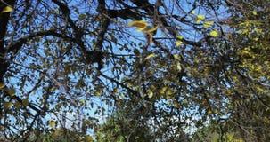 Hojas del amarillo en un árbol metrajes