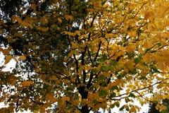 Hojas del amarillo en un árbol Fotos de archivo libres de regalías