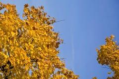 Hojas del amarillo en un cielo azul Imagenes de archivo