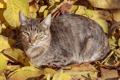 Hojas del amarillo del gato y del otoño Imagen de archivo libre de regalías