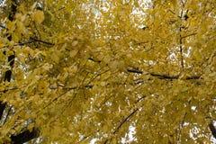 Hojas del amarillo del olmo en otoño fotografía de archivo libre de regalías