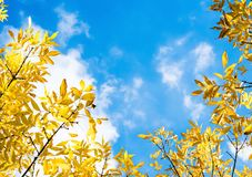 Hojas del amarillo del otoño en fondo del cielo azul Foto de archivo libre de regalías