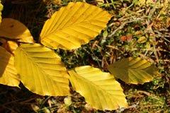 Hojas del amarillo del primer en la sol Imagenes de archivo