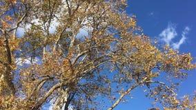 Hojas del amarillo que caen en el cielo azul metrajes