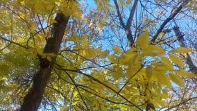 Hojas del amarillo que se sacuden en el viento metrajes