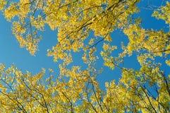 Hojas del amarillo y cielo azul Imagen de archivo
