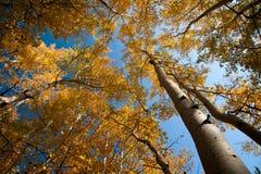 Hojas del amarillo y cielo azul Imágenes de archivo libres de regalías