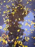 Hojas del amarillo y espejos de un árbol Fotos de archivo libres de regalías
