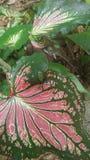 Hojas del Anthurium en Sri Lanka foto de archivo libre de regalías