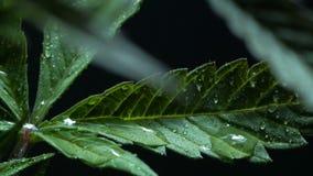 Hojas del arbusto del cáñamo que crecen dentro almacen de metraje de vídeo