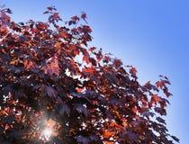 Hojas del arce de Corea, palmatum Atropurpureum de Acer Acer plumoso rojo oscuro, cielo azul brillante en el fondo imagen de archivo libre de regalías
