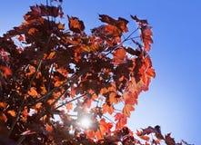 Hojas del arce de Corea, palmatum Atropurpureum de Acer Acer plumoso rojo oscuro, cielo azul brillante en el fondo fotografía de archivo