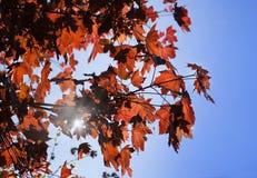 Hojas del arce de Corea, palmatum Atropurpureum de Acer Acer plumoso rojo oscuro, cielo azul brillante en el fondo imagenes de archivo