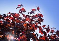 Hojas del arce de Corea, palmatum Atropurpureum de Acer Acer plumoso rojo oscuro, cielo azul brillante en el fondo fotografía de archivo libre de regalías