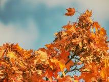 Hojas del arce otoñal Acer plumoso rojo oscuro, azul brillante foto de archivo libre de regalías