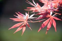 Hojas del arce (palmatum Thunb de Acer) Fotos de archivo