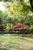 Hojas del arce (palmatum Thunb de Acer) Foto de archivo