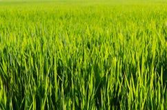 Hojas del arroz foto de archivo libre de regalías
