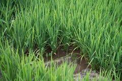Hojas del arroz Fotos de archivo