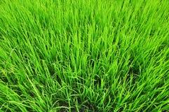 Hojas del arroz fotografía de archivo