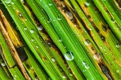 Hojas del arroz con algunos descensos del agua Fotos de archivo libres de regalías