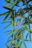 Hojas del bambú Fotos de archivo libres de regalías
