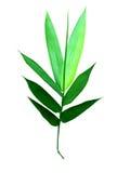Hojas del bambú aisladas Fotografía de archivo libre de regalías