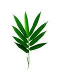 Hojas del bambú aisladas Fotos de archivo libres de regalías