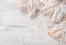 Hojas del blanco sobre fondo de madera del grunge. Arce del otoño Fotografía de archivo libre de regalías
