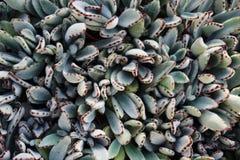 Hojas del cactus Imagen de archivo libre de regalías