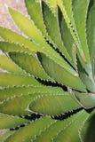 Hojas del cactus Imagenes de archivo