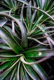 Hojas del cactus que remolinan Imagen de archivo libre de regalías