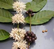 Hojas del café, flores blancas, frutas y semillas - planta del Arabica del Coffea fotografía de archivo libre de regalías