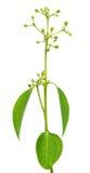 Hojas del canela con la flor Imagenes de archivo